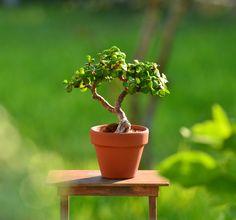 My little portulacaria afra (dwarf jade aka spekboom aka elephant bush) bonsai tree in miniature  terracotta pot.