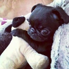 Pugs That Love To Hug! Visit our website for more relevant information on pugs. It is an excellent place to learn more.Visit our website for more relevant information on pugs. It is an excellent place to learn more. Cute Little Animals, Cute Funny Animals, Cute Dogs, Cute Baby Pugs, Funny Pets, Pug Pictures, Cute Animal Pictures, Dog Photos, Pugs And Kisses