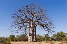 Árvore de grande porte oriunda da floresta angolana do Mayombe.