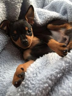 Explore our website for more relevant information on miniature pinscher puppies. It is actually an exceptional place for more information. Explore our website for more relevant information on Mini Pinscher, Miniature Pinscher, Cute Chihuahua, Chihuahua Puppies, Cute Puppies, Dogs And Puppies, Chihuahuas, Doberman Dogs, Pet Dogs