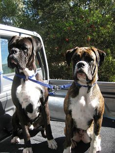 Boxers, Ted and Bunnie--