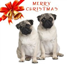 Pug Christmas Cards.115 Best Pug Christmas Cards Images In 2016 Pugs Pug Christmas Dogs