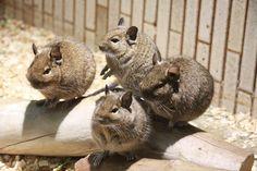 Ueno Zoo, Degu, Chinchilla, Squirrels, Twitter, Animals, Chipmunks, Chinchillas, Animaux