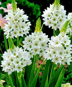Ornitogalo - Bulbo da fiore  25 x 8,50 50 x 12,75