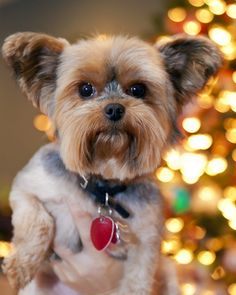 Acquire excellent suggestions on yorky. They are offered for you on our web site. Toy Yorkshire Terrier, Yorkshire Terrier Haircut, Toy Puppies, Cute Puppies, Cute Dogs, Yorkie Names, Yorshire Terrier, Yorky, Yorkie Puppy