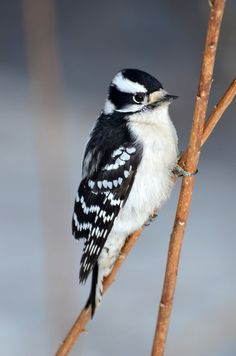 Downey Woodpecker ~ Walking on Stilts by CanadianRy*