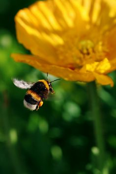 bumblebees are threatened by climate change; as their range shrinks, they don't seem to be able to move north.