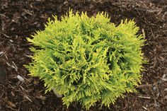 Proven Winners Anna& Magic Ball Arborvitae (Thuja) Live Evergreen Shrub, Green and Yellow Foliage, in. - The Home Depot Garden Shrubs, Landscaping Plants, Front Yard Landscaping, Shade Garden, Garden Plants, Landscaping Ideas, Farmhouse Landscaping, Garden Art, Arborvitae Landscaping