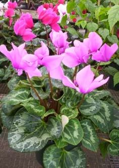best flowering houseplants a cyclamen is compact table houseplant that produces lovely butterfly - Flowering House Plants Purple