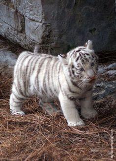 White Tiger 50
