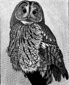 Tawny Owl II by Colin See-Paynton. Wood engraving. Size: 10 x 8 inches in an edition of 54. http://www.see-paynton.co.uk/ Tags: Wood engraving, British Artist, Helen Elstone, Bird of prey, Feathers, Claws, Beak, Eyes, Printmaking, Block Print.