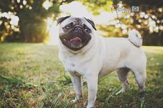 Michelle Davies Photography NZ Pet Photography Miley the Pug