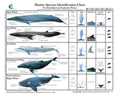 RAEM Gráfico 1 Blue Whale Size, Marine Archaeology, Whale Species, Types Of Whales, Fin Whale, Newfoundland And Labrador, Marine Biology, Prehistoric Animals, Ocean Creatures