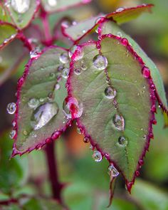 Roses leaves with water drops