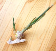 Zielona Chata: Imbir - uprawa w doniczce Air Plants, Container Gardening, Diy And Crafts, Flowers, Food, Green, Balcony, Essen, Meals