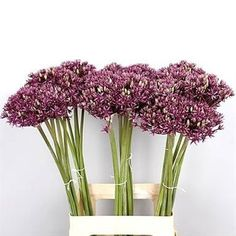 Allium Miami are also known as ornimental onions. Their blooms are made up of tiny purple flowers - tall & wholesaled in 10 stem wraps. Onion Flower, Florist Supplies, Allium, Buying Wholesale, Purple Flowers, Onions, Wedding Flowers, Miami, Wraps