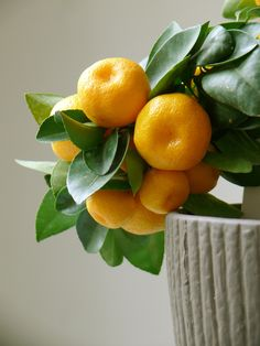 Citrus Trees: The Perfect Houseplants - Find out which fruits make the top indoor citrus plants / Fast Growing Trees