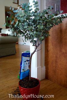 Eucalyptus Tree | This Lady's House