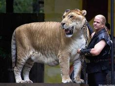 You fulfill Animorphs fans' dreams, liger! | 21 Animals That Will Make You Say WTF
