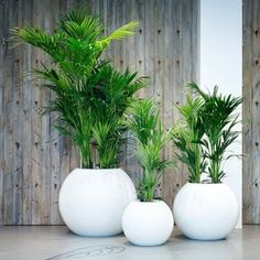 Indoor Gardening - A well kept indoor garden is a gift that keeps on giving. Not only can a good group of houseplants improve your mood and your home's air quality, they make a stylish addition to just about any space. To help… Continue Reading → House Plants Decor, Patio Plants, Indoor Plants, Indoor Palm Trees, Hanging Plants, Interior Garden, Interior Plants, Kentia Palm, Office Plants