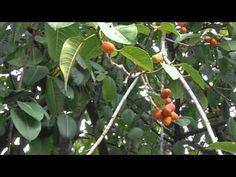HIGUERA DE MYSORE: Ficus drupacea   rioMoros