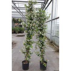 Jasmin étoilé ou Trachelospermum jasminoides pot 10L 175-200 cm