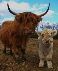 Mama's grumpy because Jr. keeps sticking his tongue out at the camera.Mama and baby Farm Animals, Animals And Pets, Funny Animals, Cute Animals, Scottish Highland Cow, Highland Cattle, Beautiful Creatures, Animals Beautiful, Fluffy Cows