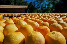 大家早安 29日晴朗 Again,就應該讓暖暖的陽光照耀,讓亮眼吸睛的橘色柿海映入眼底...