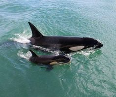 "Orcas (Dolphins - a/k/a ""Killer Whales"") .   Mother Orca with youngster.           ""Mom & baby Orca."""