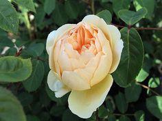 Englische Rose Jude The Obscure ® Ausjo ® Züchter David Austin 1995