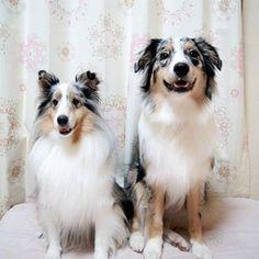 Sheltie with her Aussie brother