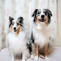 Sheltie with her Aussie brother