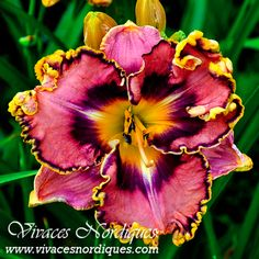 Rare Flowers Perennial Rebloom 5 Daylily Bulbs Hardy Resistant Home Plant Garden plants seeds