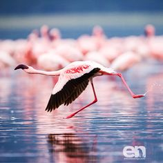 """""""#Graceful Lesser #Flamingo taking flight in Lake #Nakuru  Image © Elliott Neep #WildlifePhotographer  See stunning videos and images on my IG gallery - just tap my name to check them out  Follow the link in my IG bio for great #WildlifePhotography tips, #PhotoSafari details, buying prints and downloads. -------------------------------------------------- #⃣ #birdsofinstagram #birdwatching #birdsinflight #birdphotography @feather_perfection #feather_perfection @birdextremefeatures…"""