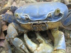 THE BLUE CRAB (Callinectes sapidus) (AKA  Chesapeake or Atlantic Blue):  A beautiful crab that lives in brackish coastal lagoons & estuaries. They weigh about 2lbs, & live up to 4 years.  Opportunistic feeders, they're an important part of the ecological system in terms of population control, though over-harvesting has led to a major decline of their numbers, as they are extremely sensitive to habitat & environmental changes.  Females have red tipped claws & will mate only once in their…