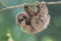 The Bradypus tridactylus (Pale-throated sloth) is a mammal that belongs to the family of Bradypodidae. You can see 10 photos of this mammal. Pictures Of Sloths, Cute Sloth Pictures, Cute Animal Pictures, Sloth Photos, Cute Little Animals, Cute Funny Animals, Cute Baby Sloths, Baby Otters, Tier Fotos