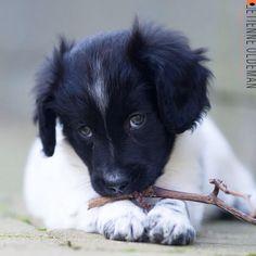 Friese Stabij puppy Sylke By Etienne Oldeman Photography Www.etienneoldeman.nl