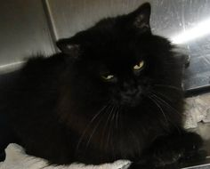 C#1021028 DLH, black female. This gorgeous cat is friendly, looks for attention, stays at the front of the cage in hopes of getting petted. This cat was brought in injured / favoring the left front paw. Hernando County Animal Services 19450 Oliver Street Brooksville, FLORIDA 34601 (352) 796-5062 Fax (352) 796-3746 ac@co.hernando.fl.us scaskie@co.hernando.fl.us sfinch@co.hernando.fl.us Due to large amounts of cats in the shelter we have reduced pull fees. Kittens are $15.00 & adults are $10