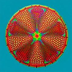 Algae - Olympus BioScapes