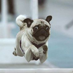 """I'm worried, better run like crazy for a few minutes"" #pug"