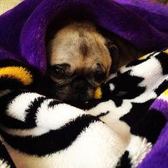 Pug-in-a-blanket. #LSU