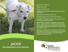 Today's l'il leprechaun rescue is Jackie!  #jackrussell #rescue #senior #adoptable #sponsor