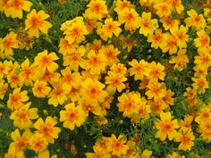 Tagetes tenuifolia Order: Asterales Family: Asteraceae Tribe: Tageteae Genus: Tagetes Species: T. Best Mosquito Repellent Plants, Natural Mosquito Repellant, Mosquito Repelling Plants, Growing Mint, Prairie Garden, Best Perennials, Annual Flowers, Plant Species, Garden Seeds