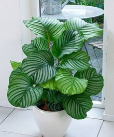 Calathea Patterned leaves make this plant a great decoration for any room, but you should remember that it does poorly in direct sunlight. Calathea likes darkened space. Outdoor Plants, Garden Plants, Plants Indoor, Easy House Plants, Indoor Flowers, Vine House Plants, Flowering House Plants, Tree Garden, Big Plants