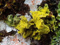 Lichen species - steve axford