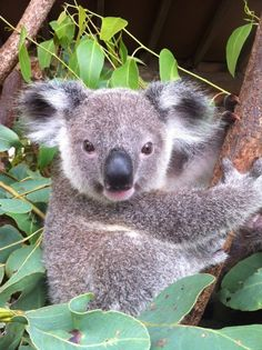Koala, Billabong Sanctuary - Nome, Queensland, Australia
