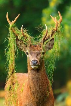 I think its cool how the moss is stuck in the deer's antlers.