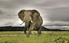 Elephant in Marakele National Park in the heart of Waterberg Mountains, South Africa