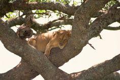 Löwe auf dem Baum im Lake Manyara in Tansania