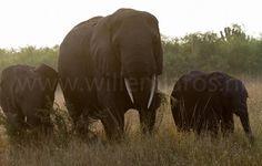 Het fijne van olifanten is dat hun gedrag bijzonder goed voorspelbaar is. Dus als er iets mis gaat is dat altijd aan jezelf te wijten. #photography #travelphotography #fotografie #canonnederland #canon_photos #panasonic #travelling #reizen #reisjournalist #travelwriter #fotoworkshop #willemlaros.nl #reisfotografie #tw #fb #compositie #natuurfotografie #nature #africa